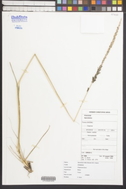 Image of Sporobolus fertilis