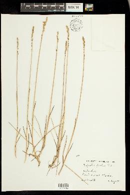 Dupontia fisheri image