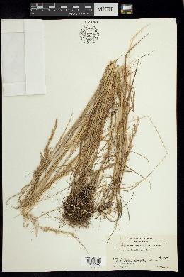 Image of Calamagrostis pittieri