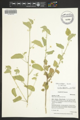 Herissantia crispa image