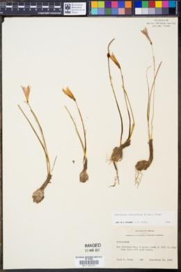 Image of Habranthus tubispathus