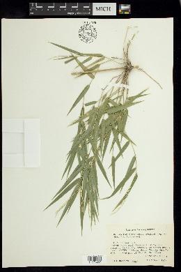 Image of Rhipidocladum bartlettii