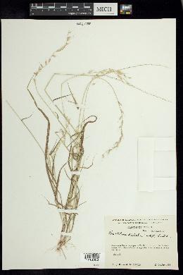 Image of Bouteloua disticha