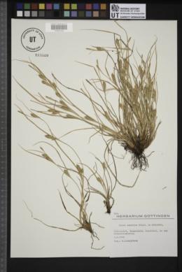 Carex secalina image