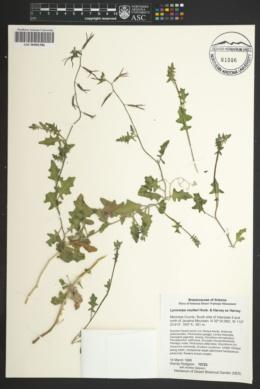 Lyrocarpa coulteri image