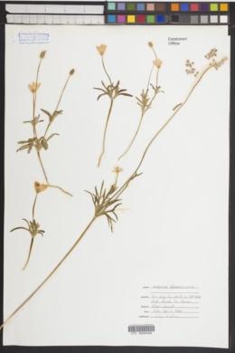 Anemone edwardsiana image