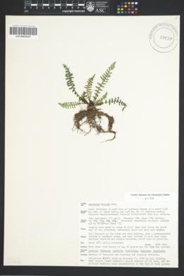 Asplenium exiguum image