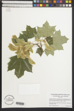 Acer platanoides subsp. platanoides image