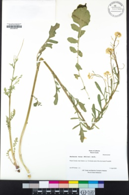 Image of Barbarea verna