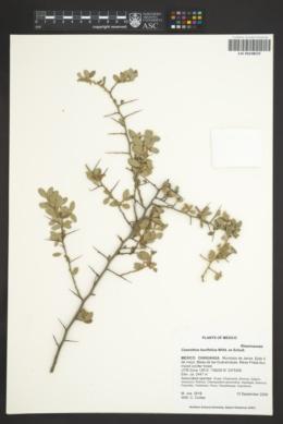 Ceanothus buxifolius image