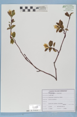 Image of Amelanchier cusickii