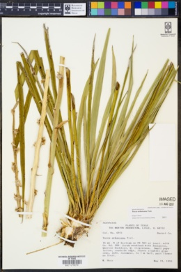 Image of Yucca arkansana