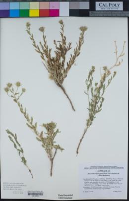 Brickellia oblongifolia image