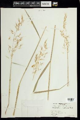 Image of Sorghastrum nudipes