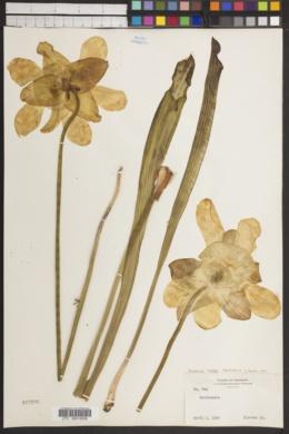 Image of Sarracenia sledgei