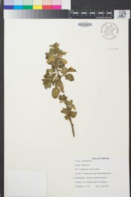 Image of Solanum umbelliferum
