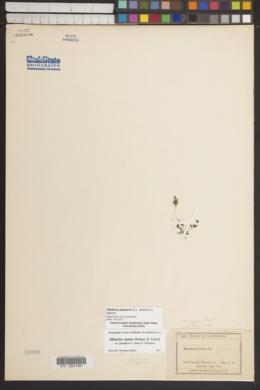 Diplacus jepsonii image