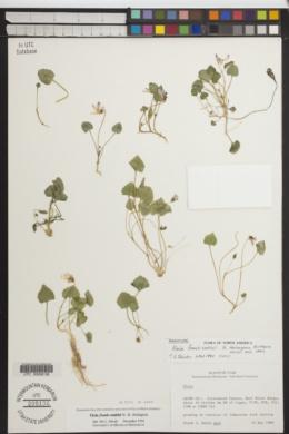 Viola frank-smithii image