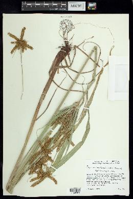 Cyperus mutisii image