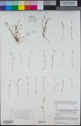 Leptosiphon pygmaeus image