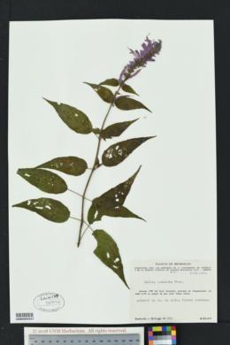 Image of Salvia iodantha
