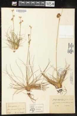 Juncus squarrosus image