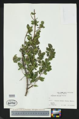 Chiococca petrina image