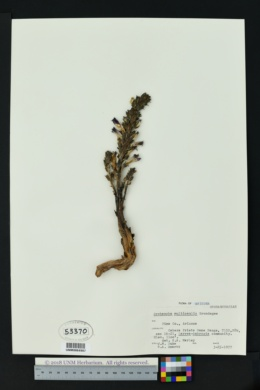 Image of Orobanche multicaulis