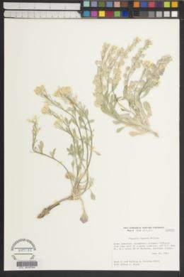 Image of Physaria repanda