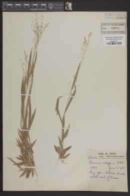 Image of Panicum xalapense