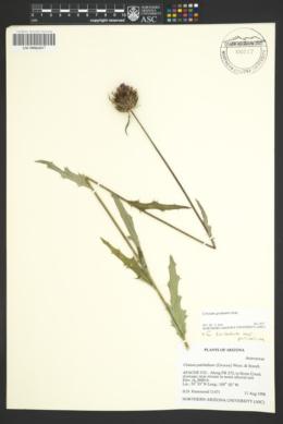 Cirsium grahamii image