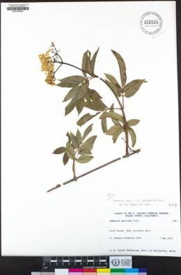 Sambucus nigra subsp. caerulea image