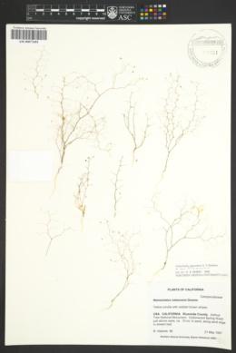 Nemacladus rubescens image