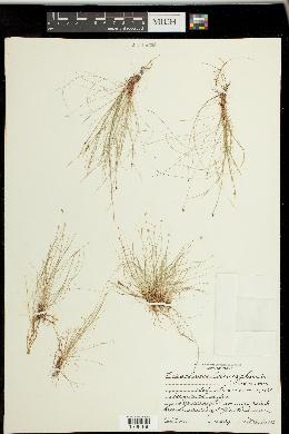 Image of Eleocharis reverchonii