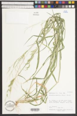 Eriochloa acuminata var. acuminata image