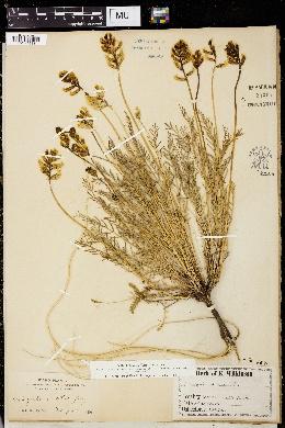 Image of Astragalus arrectus