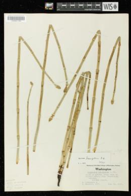 Equisetum laevigatum image