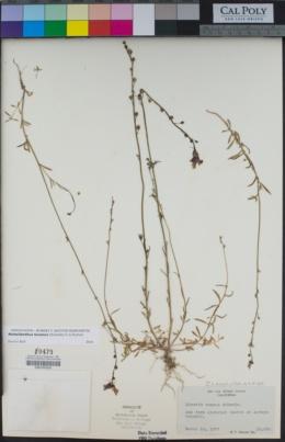Nuttallanthus texanus image