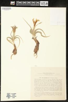 Iris lactea image