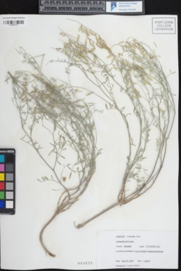 Image of Astragalus proximus