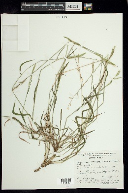 Brachypodium mexicanum image