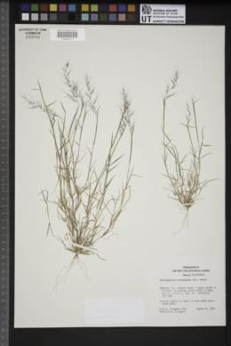 Muhlenbergia microsperma image