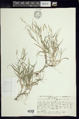 Image of Eriochloa boxiana