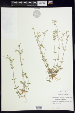 Cerastium brachypetalum image