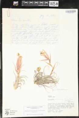 Image of Tillandsia arroyoensis