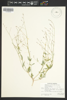 Cuscuta tuberculata image