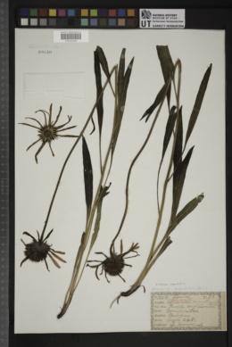Aechmea angustifolia image