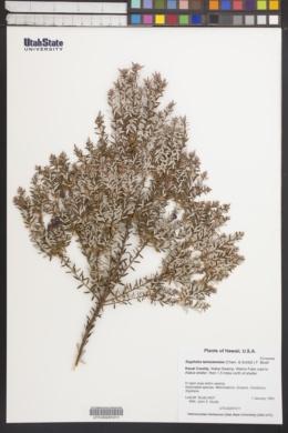 Styphelia tameiameiae image