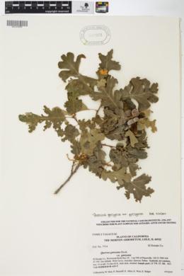 SEINet Portal Network - Quercus garryana var  garryana