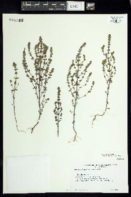 Image of Euphrasia hudsoniana